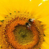 金色向日葵